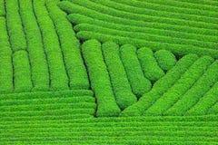 Beautiful fresh green tea plantation Royalty Free Stock Photography