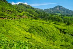 Beautiful fresh green tea plantation in Munnar, India Stock Photos