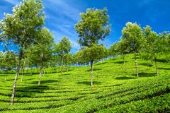 Beautiful fresh green tea plantation in Munnar, India Royalty Free Stock Image