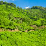 Beautiful fresh green tea plantation in Munnar, India Stock Image