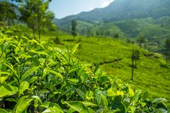 Beautiful fresh green tea plantation in Munnar Stock Image