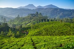 Beautiful fresh green tea plantation in Munnar Royalty Free Stock Images