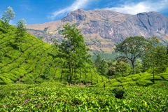Beautiful fresh green tea plantation in Munnar Royalty Free Stock Photos