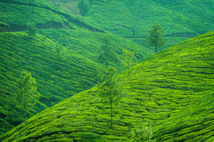 Beautiful fresh green tea plantation in Munnar Stock Images