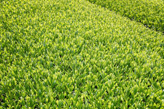 Beautiful fresh green tea plantation. In a sunny day Stock Photos