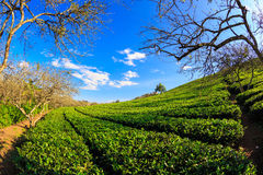 Beautiful fresh green tea plantation under blue sky Stock Images