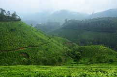 Beautiful fresh green tea plantations in Munnar highland,Kerala, Royalty Free Stock Images