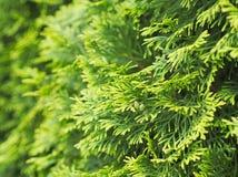 Thuja Tree Closeup Royalty Free Stock Image