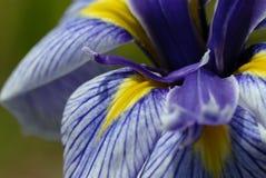Beautiful fresh iris Stock Photos