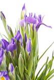 Beautiful fresh iris flowers Stock Image