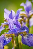 Beautiful fresh iris flowers Stock Photos