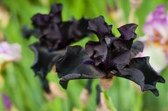 Black irises bloom in the summer garden. Royalty Free Stock Image