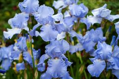 Blue irises bloom in the summer garden. Royalty Free Stock Photo