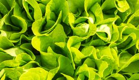 Beautiful Fresh Leaves Salad Greens In The Garden Of The Home Ga Royalty  Free Stock Photography