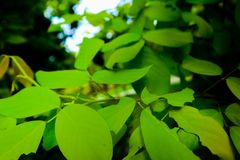 Beautiful fresh light green and yellow tree leaves on nature color pattern background and wallpaper stock photo