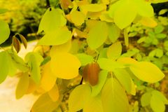 Beautiful fresh light green and yellow tree leaves on nature color pattern background and wallpaper.  stock photos