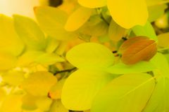 Beautiful fresh light green and yellow tree leaves on nature color pattern background and wallpaper royalty free stock images