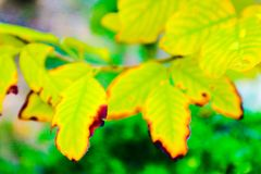 Beautiful fresh light green and yellow tree leaves on nature color pattern background and wallpaper.  stock photography