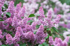 The beautiful fresh lilac violet flowers background Royalty Free Stock Image