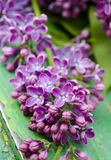The beautiful fresh lilac violet flowers on a wooden background. Close up of lilac blossoms. Spring flower, twig lilac Royalty Free Stock Photos