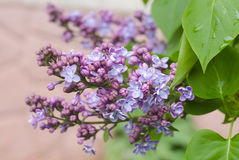 The beautiful fresh lilac violet flowers on a wooden background. Close up of lilac blossoms. Spring flower, twig lilac Stock Image