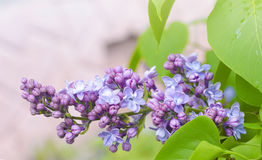 The beautiful fresh lilac violet flowers on a wooden background. Close up of lilac blossoms. Spring flower, twig lilac Stock Images