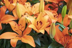 Beautiful orange lilies in the park royalty free stock image