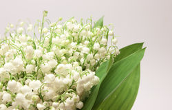 Beautiful fresh Lily-of-the-valley Stock Photo