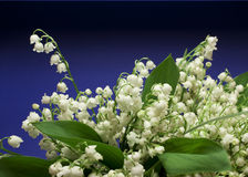 Beautiful fresh Lily-of-the-valley flowers Royalty Free Stock Photo