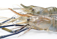 Beautiful fresh lobster prawns Stock Images
