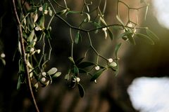 Beautiful fresh mistletoe with white berries on green background. Spring time stock photos