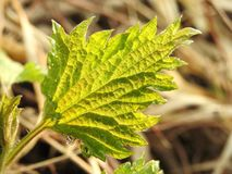 Nettle plant leaf with morning dew, Lithuania. Beautiful fresh nettle plant leaf with morning dew in spring royalty free stock photos