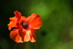 Beautiful fresh Orange Poppy Flower in the wind on a green spring meadow. stock photo