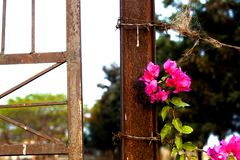 Beautiful fresh pink flower on a rusty post. Beautiful fresh pink flower growing against a rusty post and barbed wire Stock Images