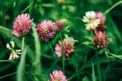 Beautiful fresh pink flowers of clover in summer colorful meadow royalty free stock photos