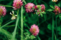 Beautiful fresh pink flowers of clover in summer colorful meadow stock photography
