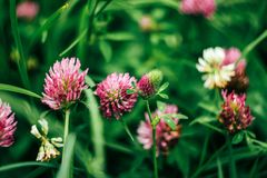 Beautiful fresh pink flowers of clover in summer colorful meadow stock photo