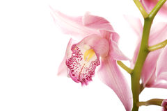 Beautiful fresh pink lily. Royalty Free Stock Photo