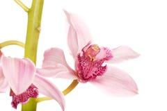 Beautiful fresh pink lily. Stock Photo