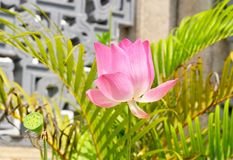 Beautiful Fresh Pink Lotus Flowers and Fruits stock images