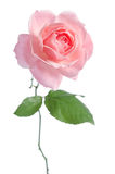 Beautiful fresh pink rose Royalty Free Stock Photo