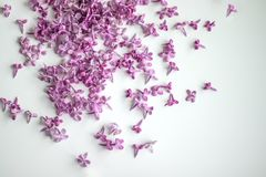 Beautiful fresh purple lilac blossoms. Scattered on white background, closeup stock photography