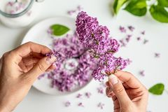 Beautiful fresh purple lilac blossoms in youg woman`s hand. Closeup royalty free stock image