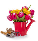 Beautiful Fresh Purple Tulips in Red Watering Can on isolated Wh. Ite Background. Spring, Summer or Holiday Concept Royalty Free Stock Images