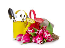 Beautiful Fresh Purple Tulips with Yellow and Red Watering Can o Stock Photography