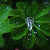 Beautiful fresh rain brops on a bright green leaf. Beautiful picture of a bright green leaf with fresh rain brops Royalty Free Stock Photos