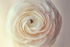 Beautiful fresh ranunculus flower. On light background Royalty Free Stock Image