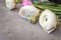 Beautiful fresh ranunculus flowers. On table Royalty Free Stock Photography