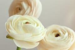Beautiful fresh ranunculus flowers. On light background Royalty Free Stock Photos