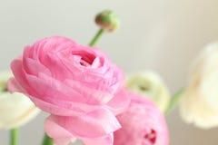 Beautiful fresh ranunculus flowers. On light background Royalty Free Stock Photo